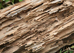 Termite-damaged wood showing rotting galleries outside of a Stratford home